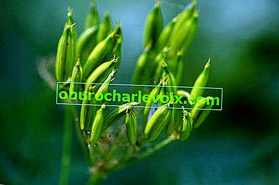 Duftende Mirris - nützliche und medizinische Eigenschaften