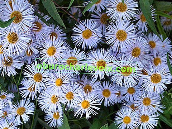 Малките венчелистчета са красиви: очарованието на простотата