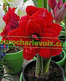 Красиво домашно цвете Амарилис *