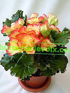 Begony zimní kvetou - Elatior a Lorrain