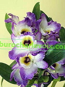 Dendrobium noble: péče o interiér