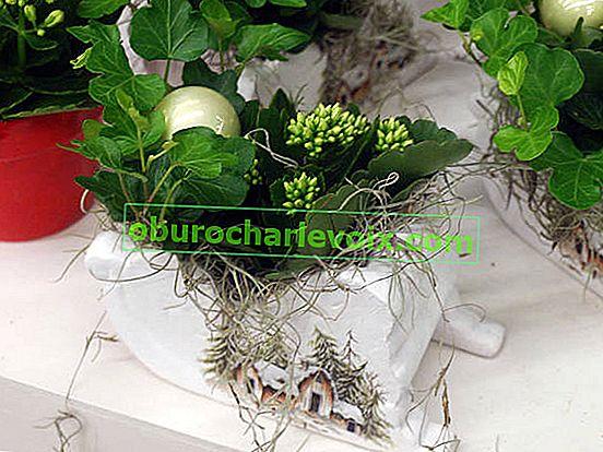 Pflanzen für Neujahr und Weihnachten