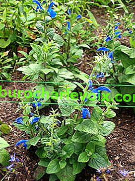 Salvia lehnte Cambridge Blue ab
