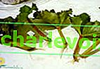 Вкореняване на бегонии с листни резници