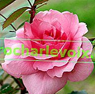 Избор на рози. Съвети за озеленяване