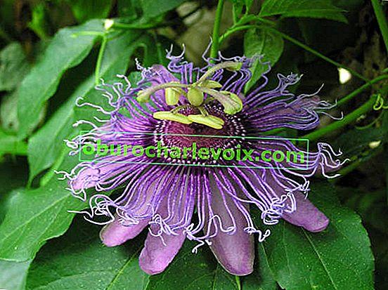 Лечебни свойства на пасифлората