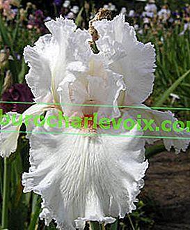 Agrotechnik der Iris