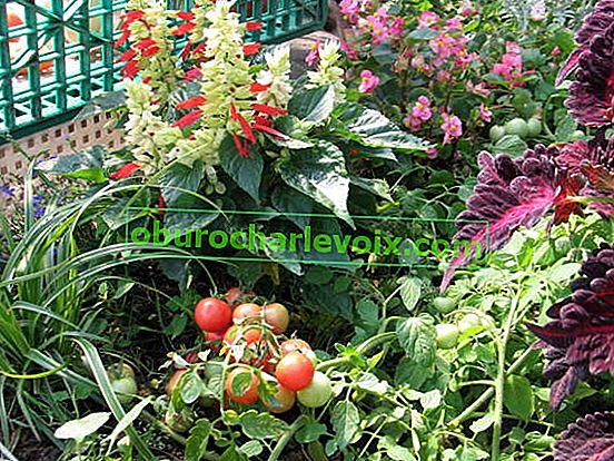 Отглеждане на домати на балкона