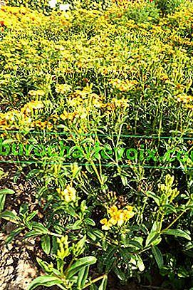Strahlende Ringelblumen - Mexikanischer Estragon
