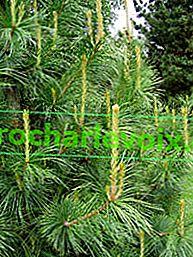 Cedro: problemi di trapianto di alberi di grandi dimensioni, malattie e parassiti