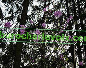 Широколистни рододендрони