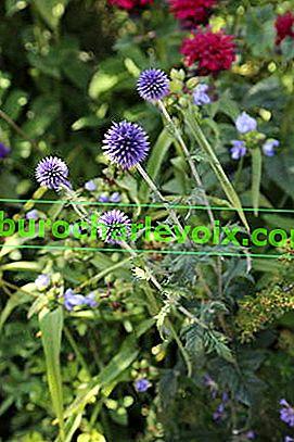 Муцуната плевел ли е или лечебно растение?