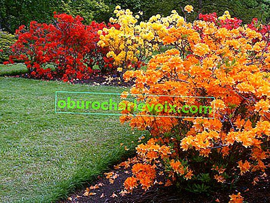 Рододендрон - цвете, достойно за Едем