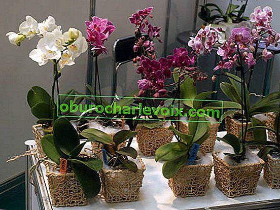 Как да се грижим за орхидеята фаленопсис