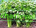 Výběr odrůd celeru