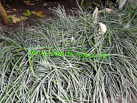 Ophiopogon nebo japonská konvalinka
