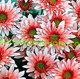 Хризантемата е популярна кройка