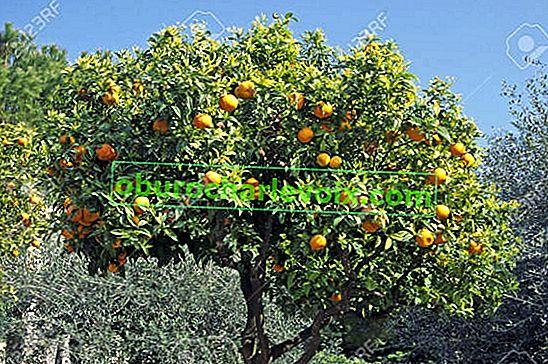 Портокал - китайска ябълка