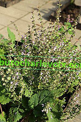 Градински градински чай: лечебни свойства и употреба
