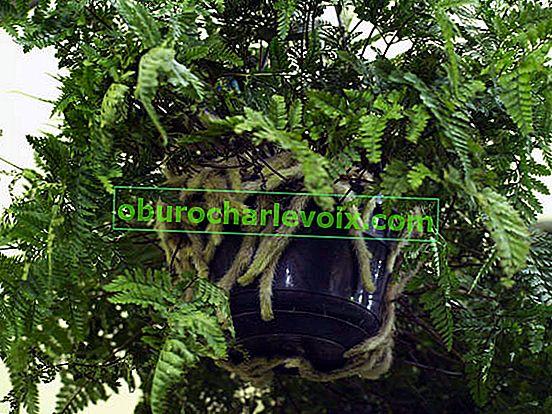 Davallia - Farn Hasenfüße