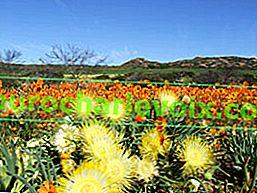 Frühling im Namaqualand National Park (Cape Floristic Kingdom)
