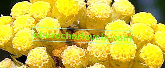 Slaměnka italská - kořeněná rostlina s vůní kari