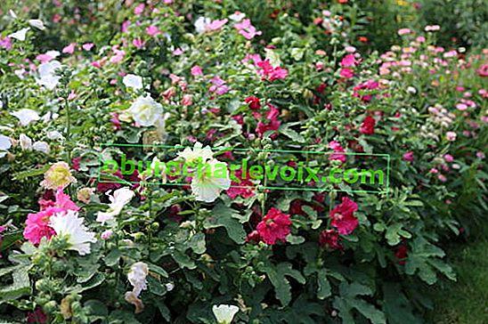 Malve ist eine Stockrose, aber keine Rose