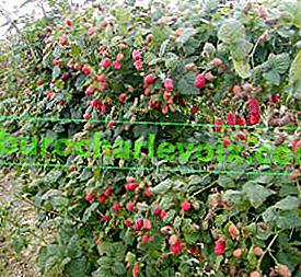 Himbeer-Brombeer-Hybriden: Loganberry und Tayberry