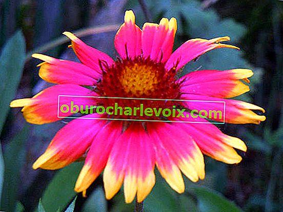 Gaillardia - die Sonne im Blumengarten