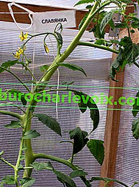 Wie man den Tomatenertrag durch Regulierung der Entwicklung erhöht