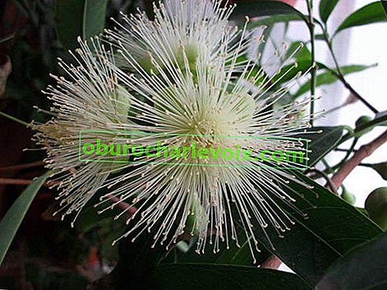 Syzygium yambose - Malabarpflaume oder Rosenapfel