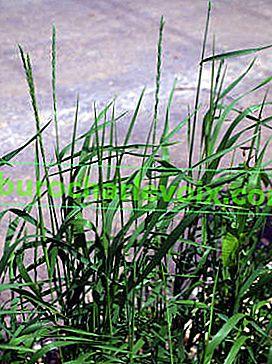 Weizengras kriechend - Medizin für den Export