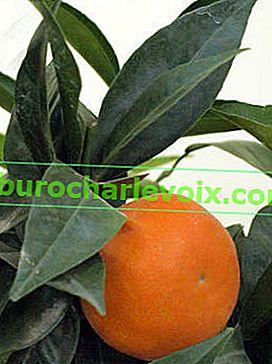 Výběr citrusových rostlin