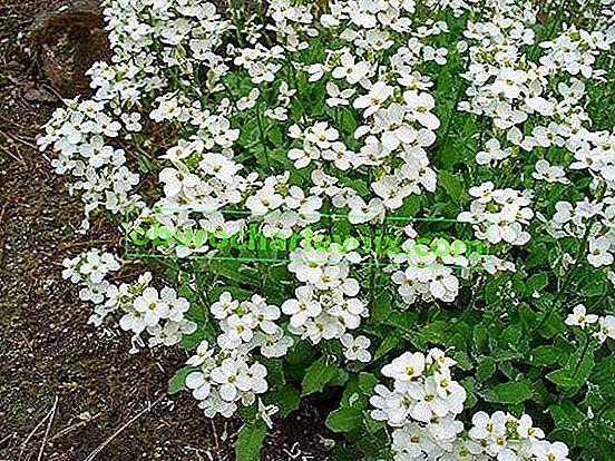 Alpski arabis - pozadinska biljka