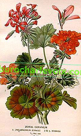 Zonale Pelargonien: Rosenknospen, Dikons, Sternchen und andere