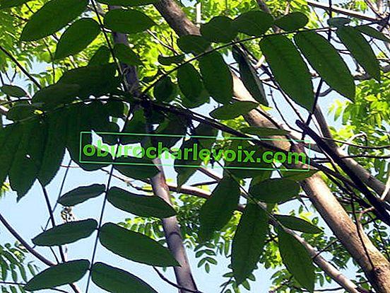 Амурско кадифе или амурско корково дърво