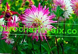 Kaktusdahlien sind die Blüten dieses Sommers