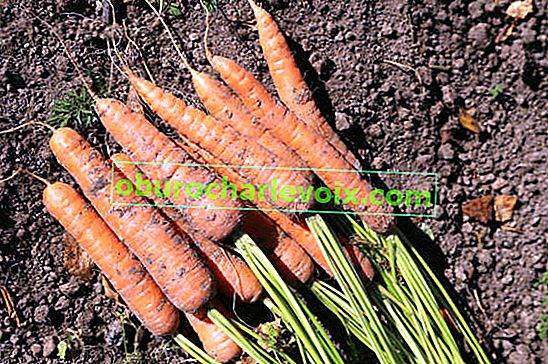 Тайни на правилната реколта от моркови