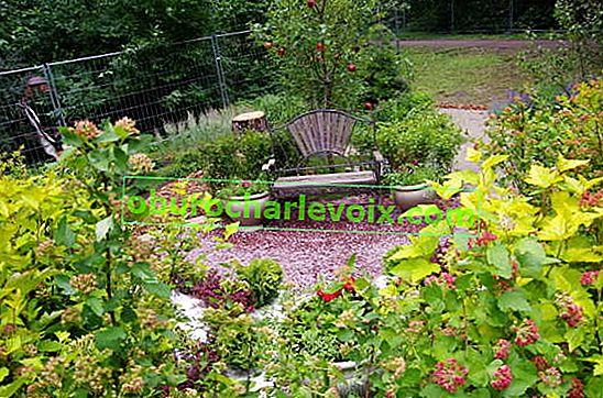 Мехурчесто растение - верен съюзник на руснак по пътя към градинския идеал