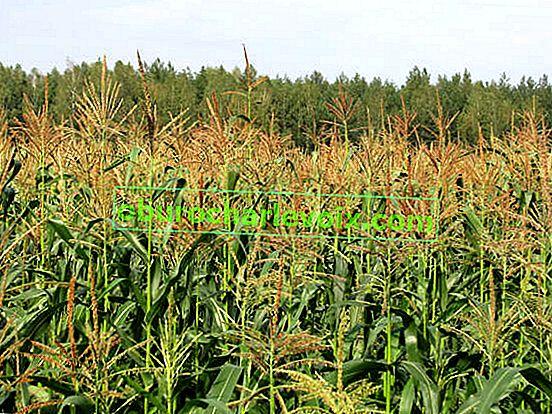 Отглеждане на растителна захар царевица