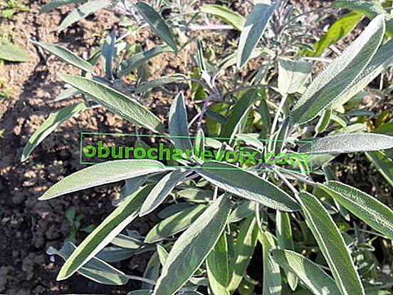 Salvia officinalis - лекар в ароматно цветно легло