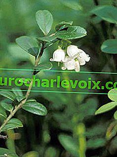 Lingonberry: полезни свойства и употреба