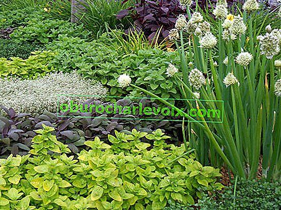 Heilpflanzen für kleine Gärten, Balkone und Terrassen