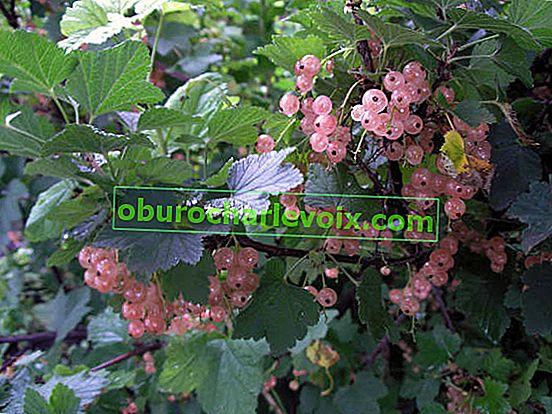 Едроплодни сортове касис