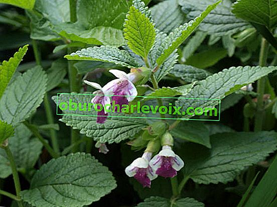 Melissole Räuchergefäß: Honigpflanze