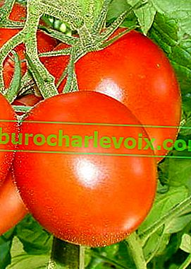 Отглеждане на домати на два или повече корена