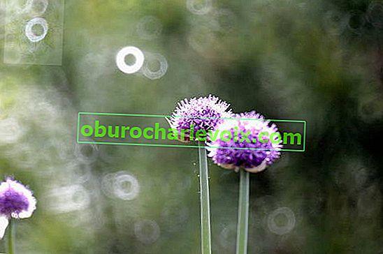 Anzurská cibule - okrasná rostlinná kultura