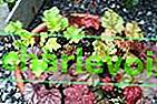 Geichera - královna pestrých plodin